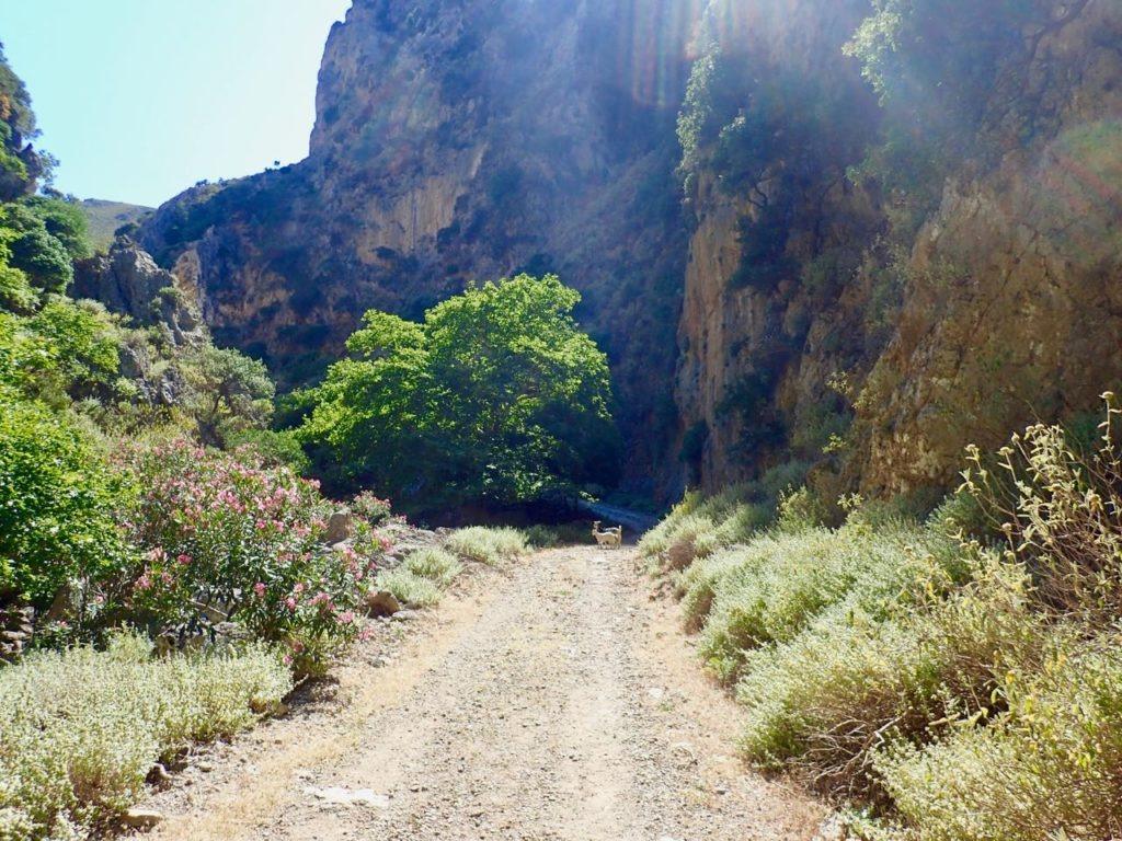 Deliana gorge road goats