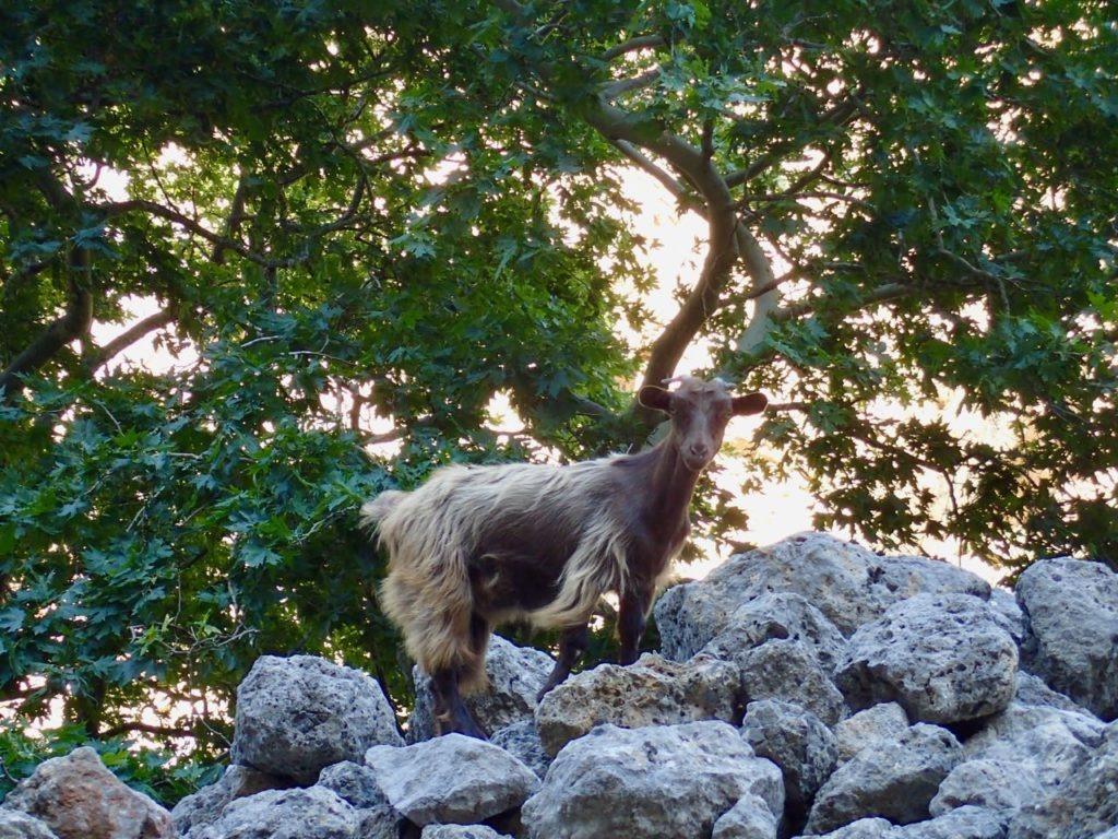 Deliana goats