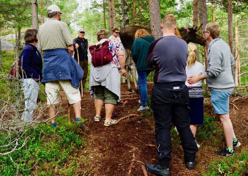 Elgtun elk close guided tour Per Johansson review