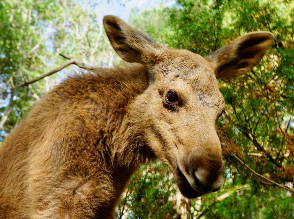 Elgtun elk calves cute close up review