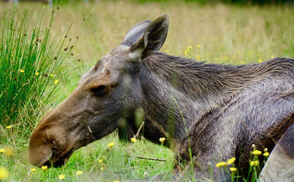 Elgtun moose elk review