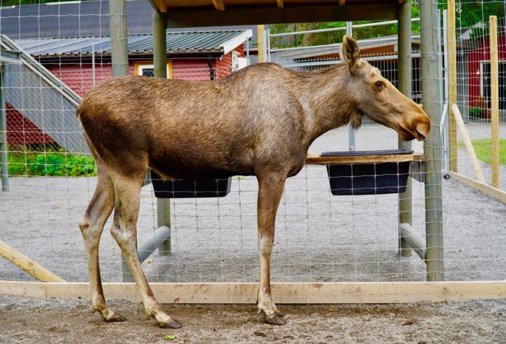 Elgtun standing elk review