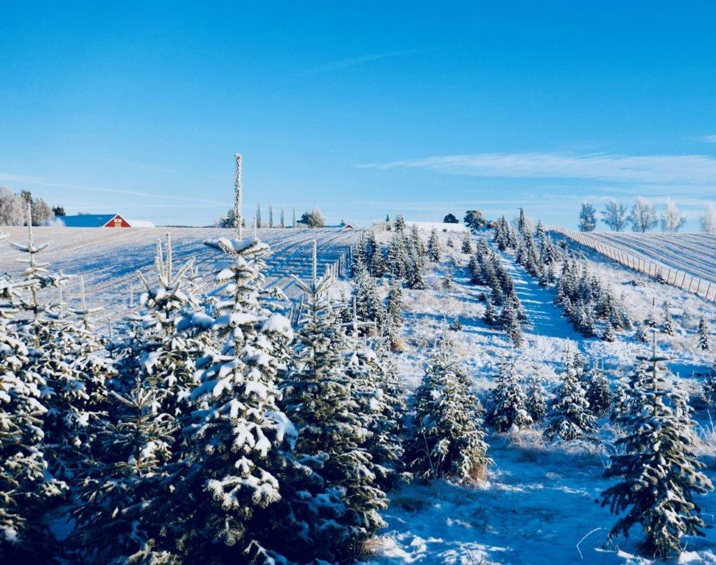 Rollstad Farm christmas tree self cut field