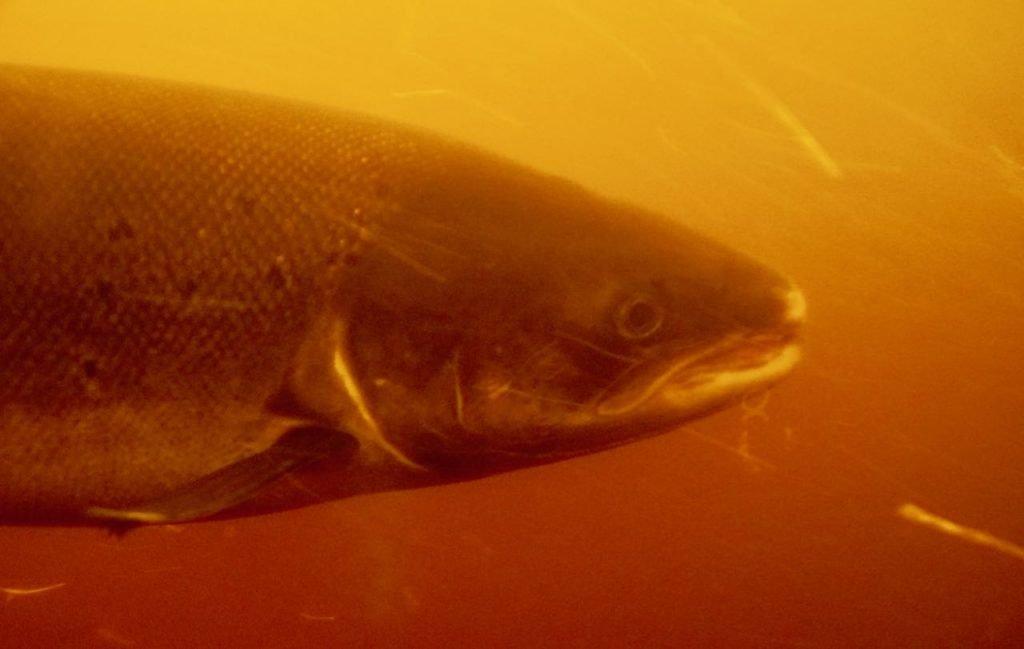 Kvåsfossen visitor center salmon review