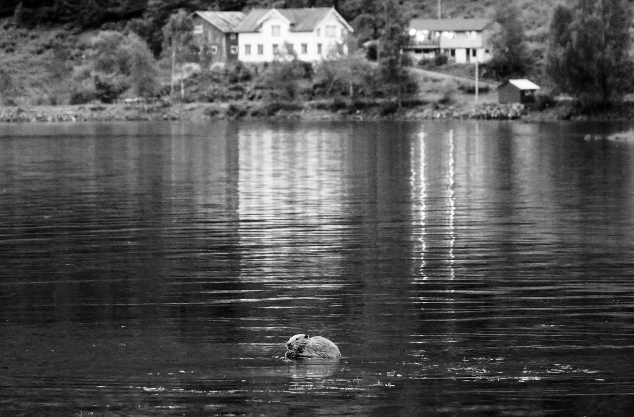 Road trip Norway Dalen Bufjordstigen beaver