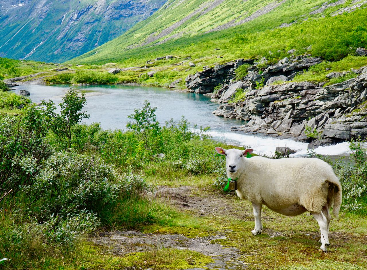 Road trip Norway mountain road Valldal to Isterdalen sheep