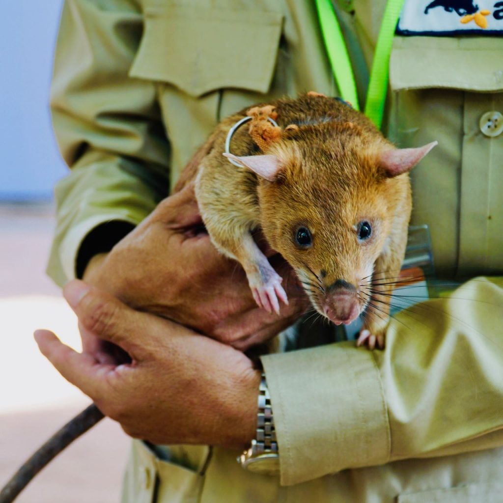 With Norwegian Eyes Travel Highlights 2018 Apopo Herorats