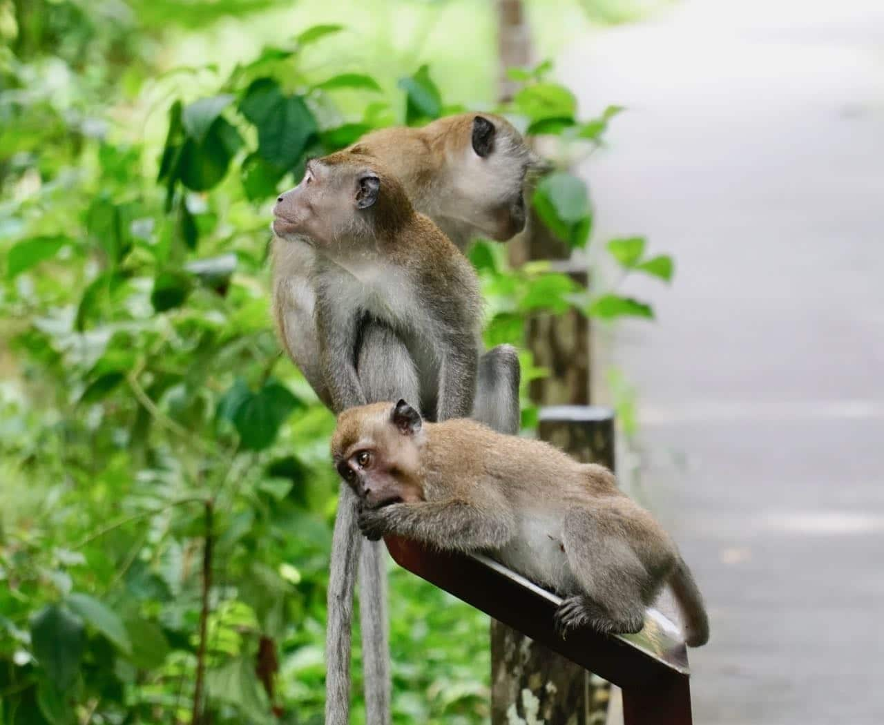 Monkeys Jungle Walking in Singapore MacRitchie Reservoir Windsor Nature Park