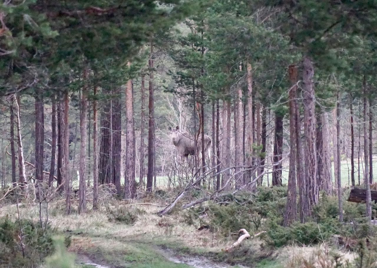 The elk is watching us closely. Elk safari on ebikes in Dovre