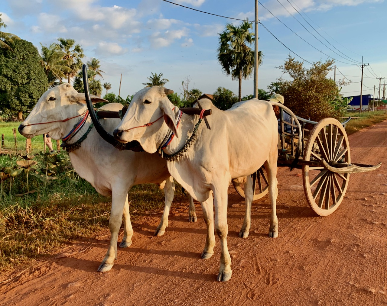 Ox Cart Adventure Siem Reap Sustainable Tourism