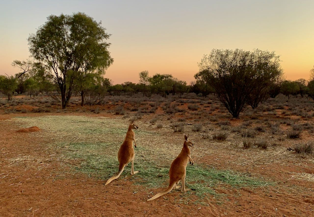 Kangaroo Sanctuary Sunset Tour Kangaroos