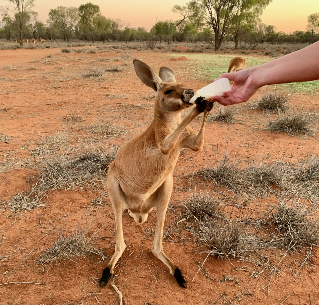 Kangaroo Sanctuary Sunset Tour Kangaroo drinking milk