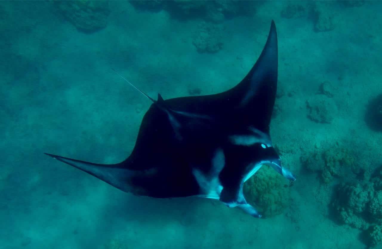 Manta-ray Bora Bora Snorkeling