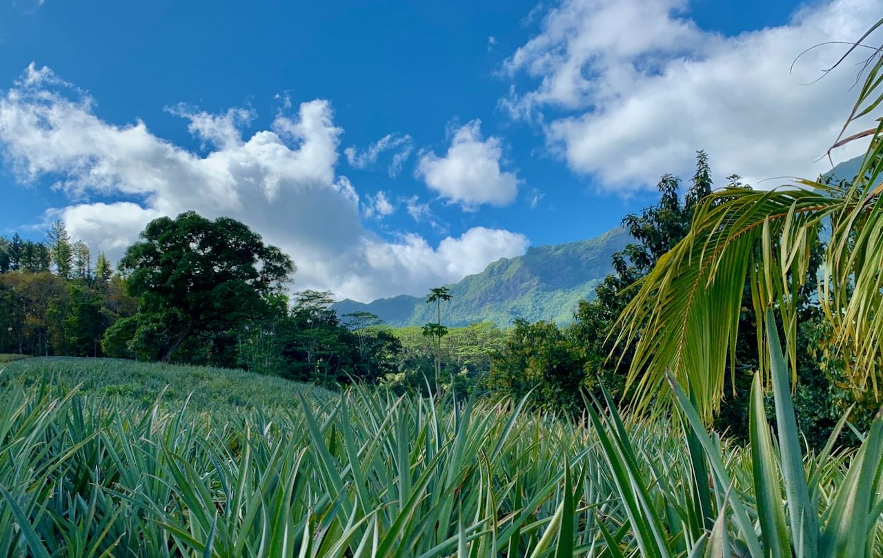 Ananas Plantation Moorea French Polynesia