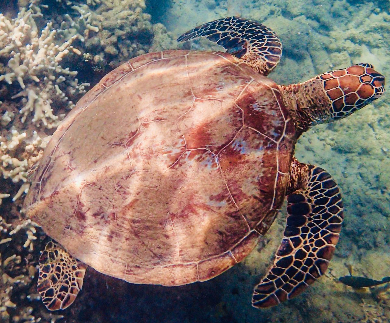 Snorkeling Great Barrier Reef Sea Turtle