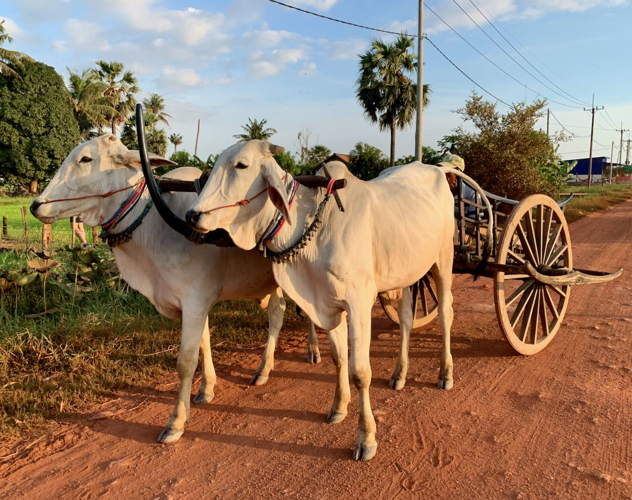 Ox Cart Adventure Siem Reap Cambodia