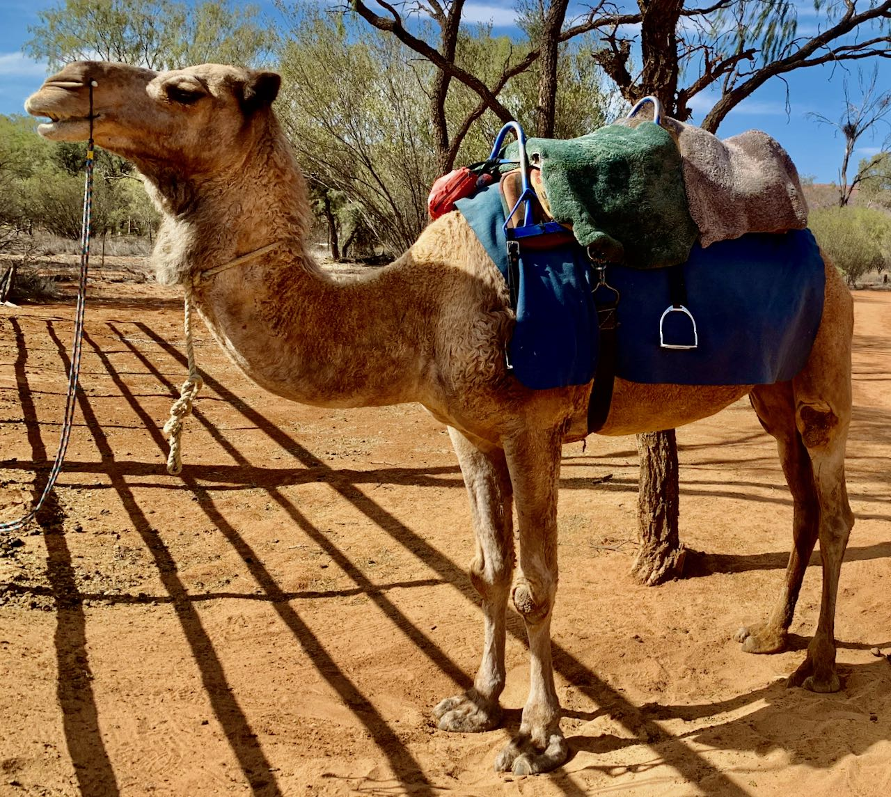 Camel Safari Alice Springs Australia