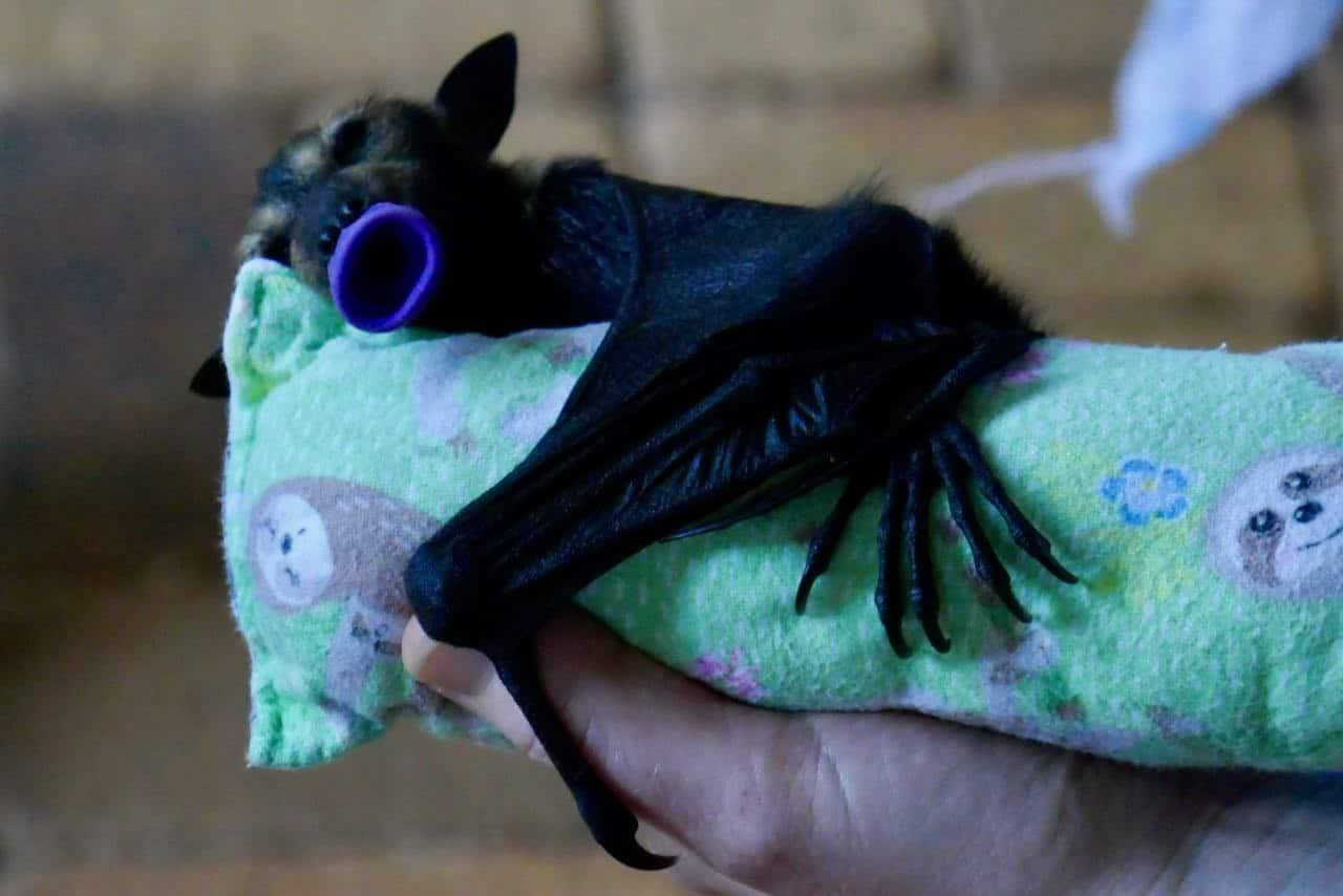 Baby bat Tolga Bat Hospital