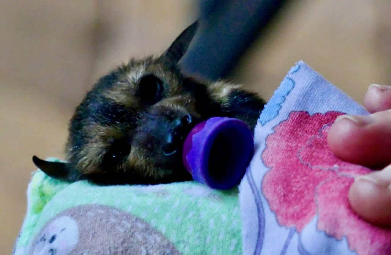 Baby bat with pacifier Tolga Bat Hospital