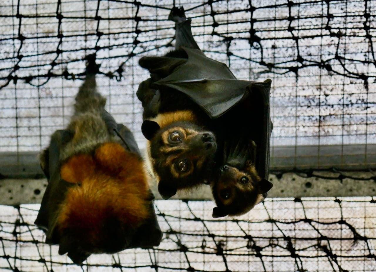Bats at Tolga Bat Hospital