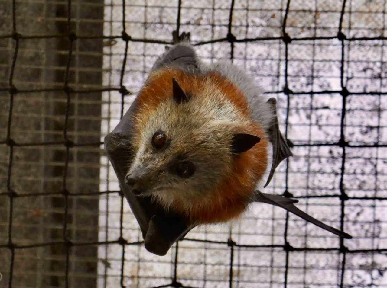 Bat at Tolga Bat Hospital