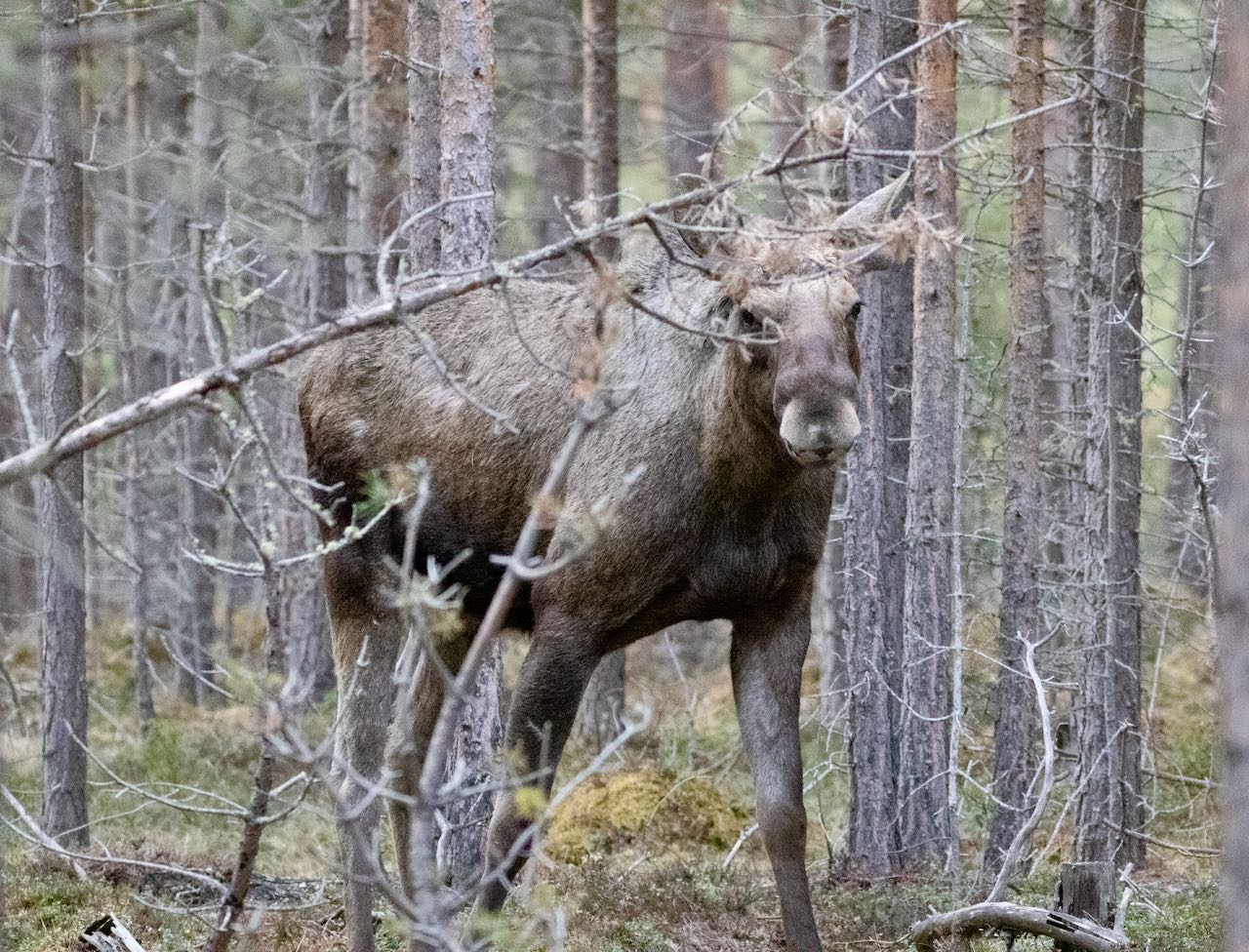 Moose Safari Dovre 33 travel tips Norway