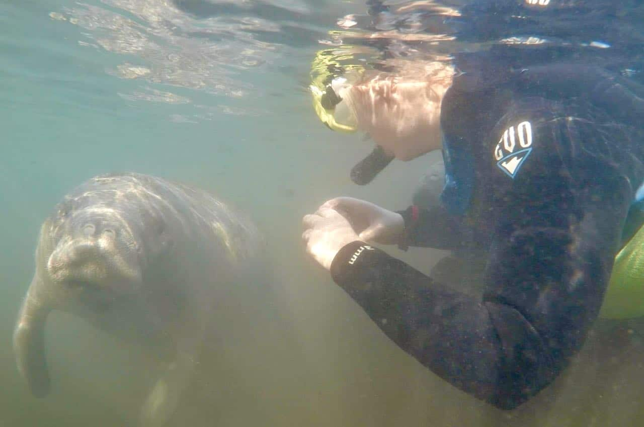 Manatees in Homosassa Springs A Review of Mellow Mangrove Charters