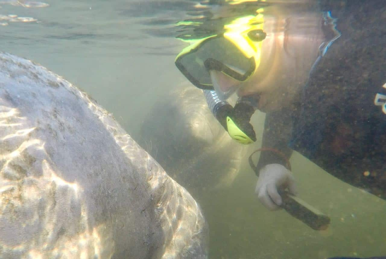 Swimming with Manatees in Homosassa Springs A Review of Mellow Mangrove Charters