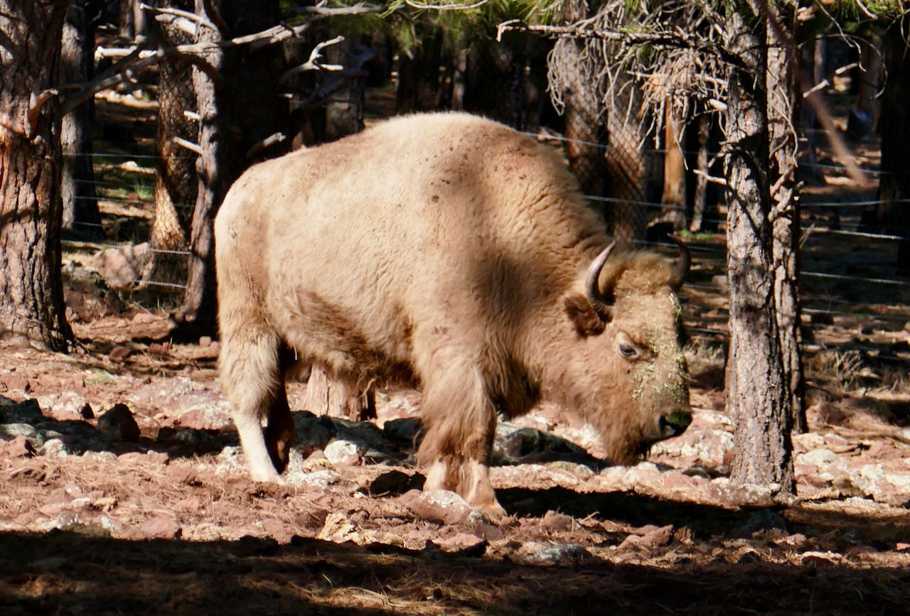 Bison in Bearizona