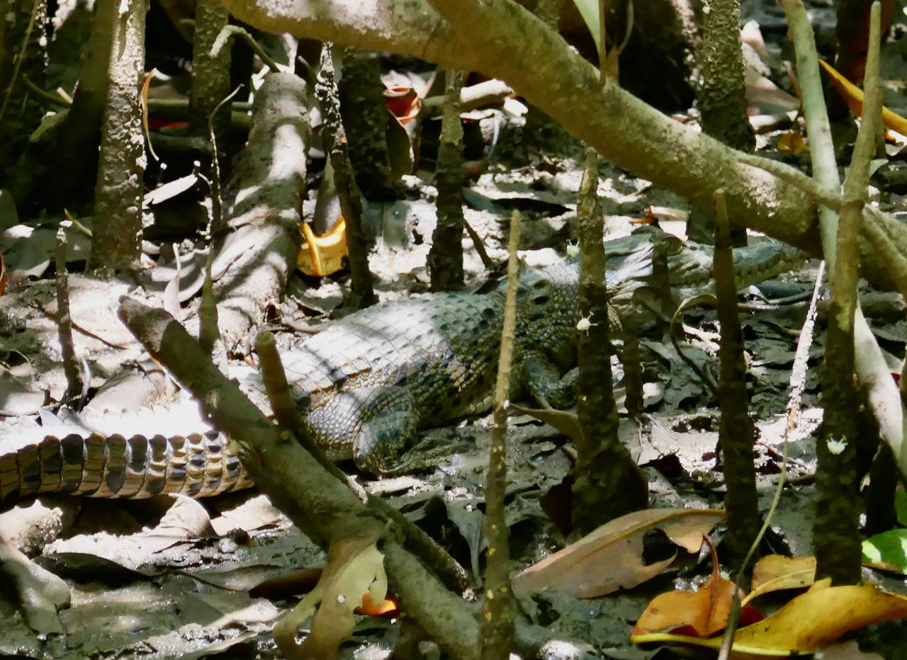 Baby Crocodile Cairns Road Trip Cruise Daintree River Solar Whisperer